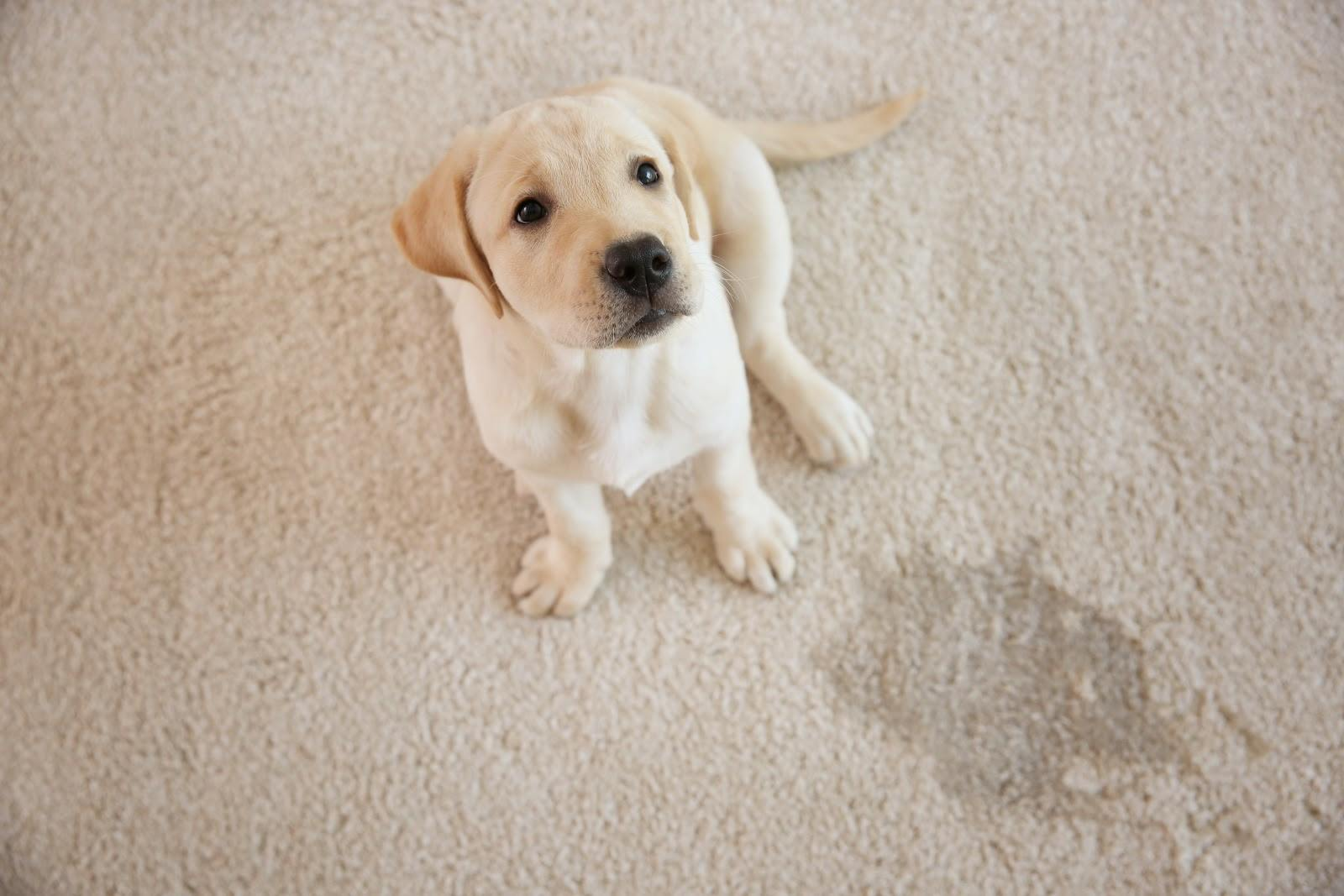 small dog sitting next to a urine stain on carpet